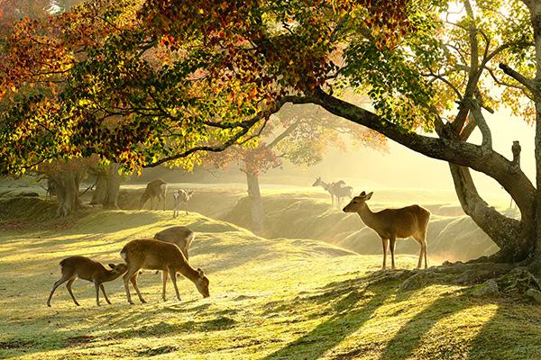 Parque de los ciervos sagrados, Nara